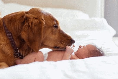 Image Maplelane Goldens With Baby